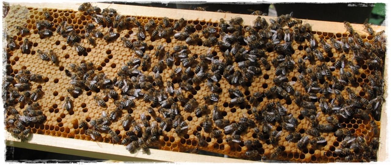 entwicklung honigbiene in der wabe